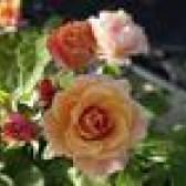 Adaptações de plantas de rosa