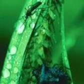 Ovos de insetos preto nas folhas