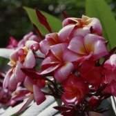 Erros em plantas plumeria