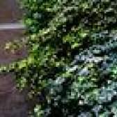 Arbustos, arbustos e plantas que gostam de sombra