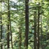 Dicas de cuidados para o pinheiro norte