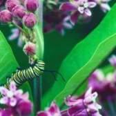 Tipos de lagartas com listras brancas e pretas