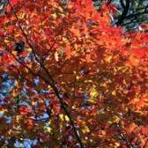 Diferentes tipos de árvores de bordo vermelho
