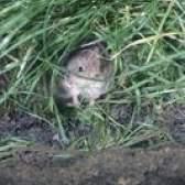 Não malmequeres repelir roedores?