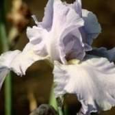 Você plantar íris plantas na luz solar ou sombra?