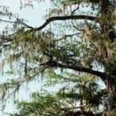 Árvores resistentes à seca nativas para a califórnia