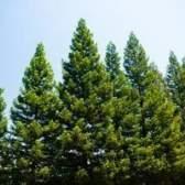 Partes comestíveis de um pinheiro