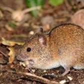 Óleos essenciais para ratos armadilhas