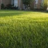 Moscas e insetos em meu gramado