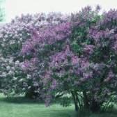 Tipos de plantas lilás