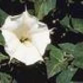 Flores que se parecem com trombetas