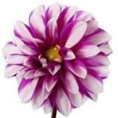 Flores que significam gratidão