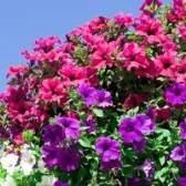 Flores para plantar com petúnias