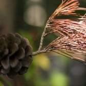 As taxas de crescimento de árvores de cedro vermelho