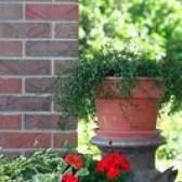 Arbustos verdes anão hardy que irão crescer em contentores