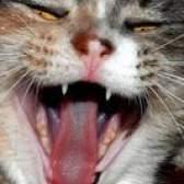 Caseiros comida de gato enlatada
