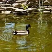Filtro caseiro para um lago com patos