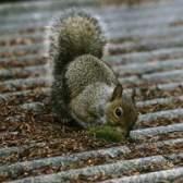 Como posso parar esquilos de comer as tampas pilha de ventilação de chumbo?