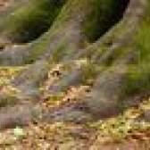 Quão perto se de plantas daninhas & alimentação tem que ser a doer uma árvore?