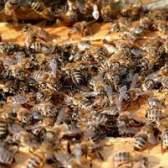 Como faço para remover uma colmeia de abelhas a partir do sótão?