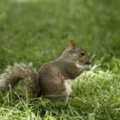 Como manter esquilos fora do tapume do cedro