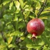 Como crescer uma árvore de romã maravilhosa