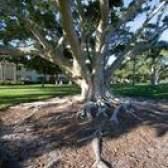 Como crescer grama, onde as raízes das árvores são