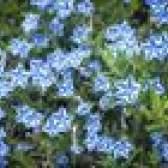 Como crescer lithodora diffusa flores