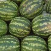 Como saber quando melancias estão maduras