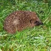Como fazer um traje hedgehog