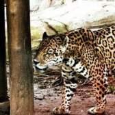 Como fazer uma fantasia de jaguar