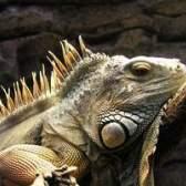 Como fazer uma fantasia de iguana