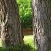 Como plantar grama sob pinheiros