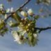 Como podar árvores de cereja jovens