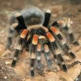 Como para repelir aranhas viúva-negra