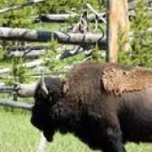 Como fumar a carne de búfalo