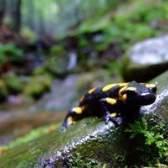 Como cuidar de uma salamandra viscosa