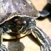 Como saber se um bebê tartaruga slider vermelho-orelhudo é macho ou fêmea
