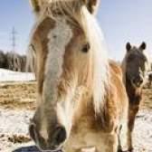Como tratar um cavalo com um frio