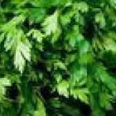 É cilantro uma erva perene?