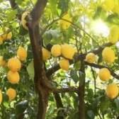 Limoeiros em florida