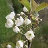 A expectativa de vida para a floração das cerejeiras