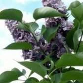 Arbustos de lilás que vai crescer na califórnia