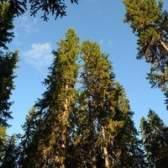 Remoção de casca de árvore pine