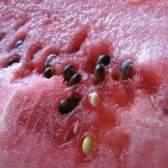 Procedimento para a extração do óleo das sementes de melancia