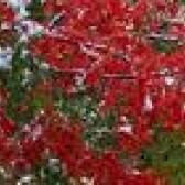 Prós e contras de árvores de bordo vermelho