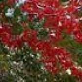 Arbustos vermelhos para paisagismo