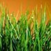 Se você fertilizar seu gramado quando está molhado ou seco?