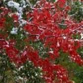 Erros de sementes-like pequenos com lixo algodão branco em plantas
