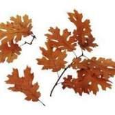 Espécies de carvalhos que retêm suas folhas mortas